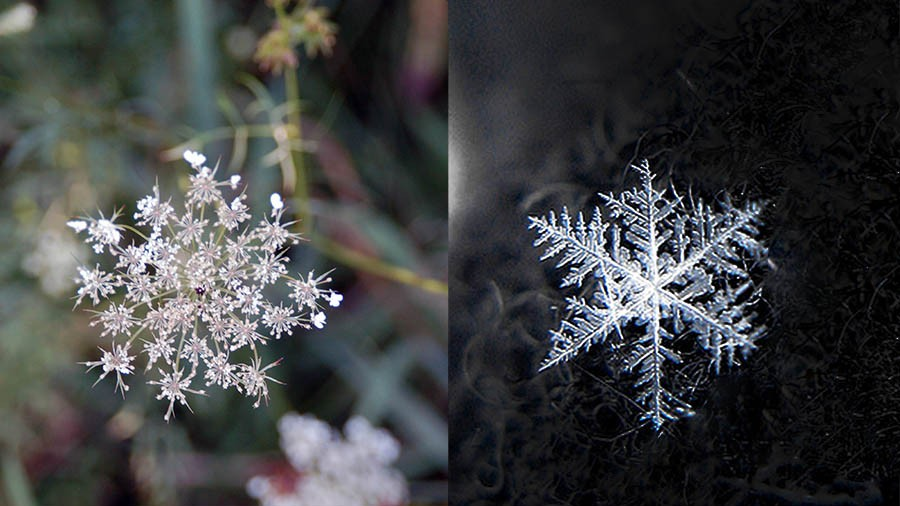 Queen Anne's Lace (Wild Carrot) flower and a snowflake