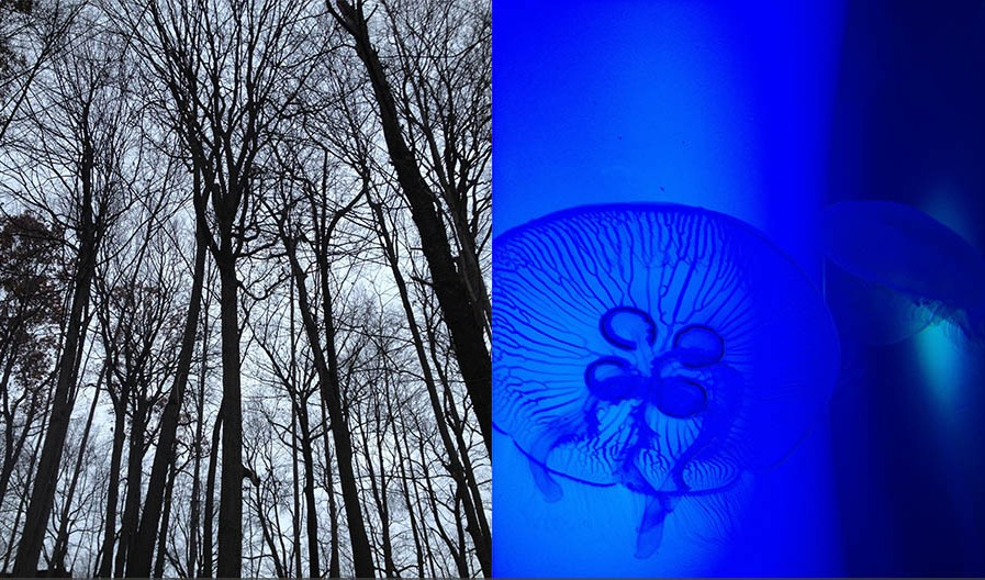 Red Oak trees vs. Moon jellyfish